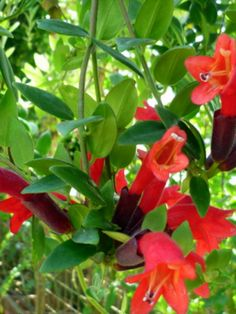 Tropical Flowers, Tropical Plants, Indoor Garden, Indoor Plants, Lipstick Plant, Plant Basket, Small Trees, Yard Art, Trees To Plant
