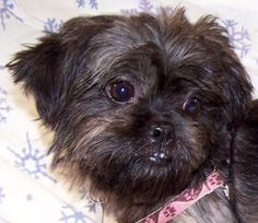 Meet Princess, an adoptable Shih Tzu Dog | Memphis, TN | princess is a tiny little three year old shih tzu who was surrendered with her siblings to Tipton...