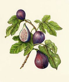 If I ever change my mind and got a tattoo, it would probably be a botanical fig illustration. Vintage Botanical Prints, Botanical Drawings, Botanical Art, Vintage Prints, Vintage Botanical Illustration, Fig Drawing, Plant Drawing, Branch Drawing, Illustration Botanique
