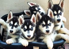#Siberian #Husky #pups in a laundry basket.