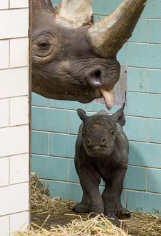 A wide-eyed baby black rhinoceros named 'Akili' stares ahead at its mother 'Ine' at their enclosures in the Berlin Zoo on August The baby rhino was born five days ago and weighs 65 pounds compared to its mother who tips the scales at pounds kg). Zoo Animals, Cute Baby Animals, Animals And Pets, Funny Animals, Wild Animals, Berlin Zoo, Baby Rhino, Especie Animal, Tier Fotos
