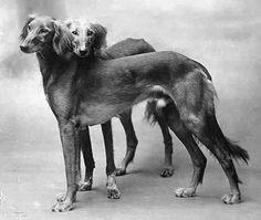 Sweet brothers: Saluki champions Zobeid and his brother, Farhan, circa 1926.