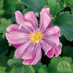 Anemone hupehensis Prince Henry