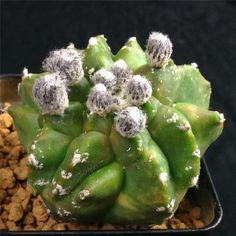 Astrophytum myriostigma Monstosus rare cactus plant cacti ariocarpus 4565 • CAD $12.69 - PicClick CA