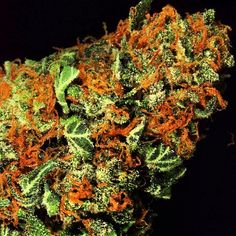 OG The best seeds# http://www.spliffseeds.nl/silver-line/blue-berry-seeds.html