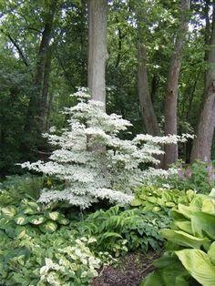 woodland garden (dogwood, hostas-- imitate along back border) trendy family must haves for the entire family ready to ship! Free shipping over $50. Top brands and stylish products