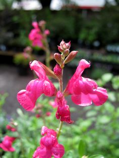 Salvia Neon Dancer