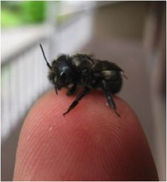 Sweet little Mason Bee ~ non-stinging FRIENDS.huge inprovement in fruit this year on pears/apples/cherries thanks to my new 'babies'. Bees For Sale, Raising Bees, Mason Bees, I Love Bees, Bee House, Cute Bee, Bee Happy, Save The Bees, Bees Knees