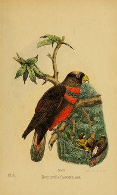 Domicella fuscata. Die Papageien Bd.2:hft.2 (1868) Leiden :Brill,1867-1868. Biodiversitylibrary. Biodivlibrary. BHL. Biodiversity Heritage Library