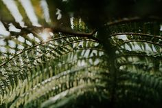 https://flic.kr/p/D3EgFL | New Zealand fern | The iconic New Zealand fern!  Shot on Sony Alpha 7rII with the ZEISS Loxia 21mm 2.8