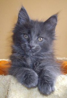 goregous solid blue maine coon kitten from rockoon maine coons