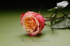 RIO CHERRY BRANDY Bi-color copper orange Extra large bud Medium petal count 7-10 day vase life Available on 50-70 cm