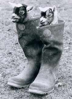 Goats in boots! (っ◔‿◔)っ♡  or if you don't have puss n boots just use goats