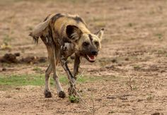 African Wild Dog @ South Luangwa National Park in #Zambia - See our South #Luangwa Travel guide: http://www.safaribookings.com/south-luangwa