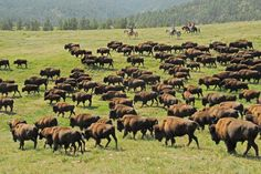 The Custer State Park Buffalo Roundup will be here before you know it - Sept. 26,2014. Are you attending this year?