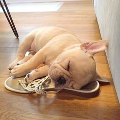 This was taken when Carlos was the size of a shoe. Memories of a French Bulldog Puppy.