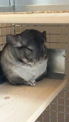 I love how this chinchillas sleeps with crossed paws.
