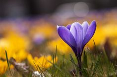 Photo Crocus at backlight by Uta Naumann on 500px