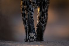 Photograph by Ross Couper Wildlife, Photograph, Cats, Photography, Gatos, Fotografie, Kitty, Serval Cats, Cat