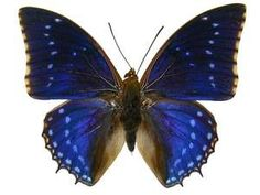 Purple Charaxes Butterfly