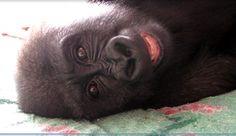 http://news.mongabay.com/2012/0820-hance-gorilla-toddler-pod.html