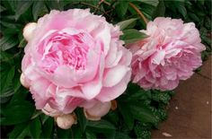 Old Rectory Gardens. Peonies will be the next flower I choose for my garden because they smell so heavenly!!