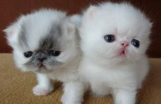 Bella Mia Cattery of Exotic Shorthair and Persian Cats - 2011 Kittens - Tap the link now to see all of our cool cat collections! Cute Little Kittens, Cute Cats And Kittens, Baby Cats, I Love Cats, Kittens Cutest, Beautiful Kittens, White Kittens, Pretty Cats, Cute Funny Animals