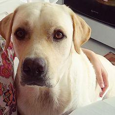 Good afternoon my friends!  Good sunday!  #Harry #Labrador #Retriever #filhotes #cachorro #dog #Instadog #instaharry #instapet #dogslovers #puppy #pup #doggie #pet #lab #yellowlab #golden #talesofalab #babydog #loveanimals #labragram #laboftheday #worldoflabs #photo #instagram #sunday #followme #Domingo #selfie by labradorrharry
