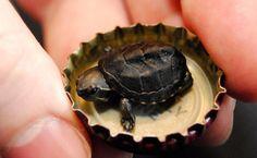 turtle - Tartaruga-almiscarada (Sternotherus odoratus), em Kenmore, nos Estados Unidos