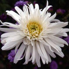LEUCANTHEMUM 'Clairette' (Marguerite d'été) : Les variétés sont souvent des améliorations à grandes fleurs blanches, d'apparence variées, parfois doubles. Donnent d'excellentes fleurs à couper et les simples sont idéales en prairies fleuries ou jardins naturels. Fleurs demi-doubles blanches. Cœur hérissé.