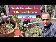 Youtube Seeds Germination of Green and Red Okra. For tips visit website www.veggieshomekitchen.tk