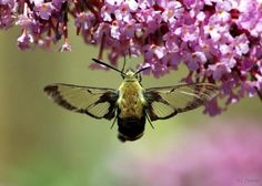 Hummingbird Clear Wing Moth Yes They Live Here On Long Island Have Them In