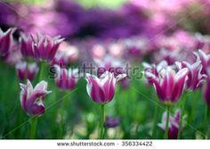 purple garden tulips - stock photo