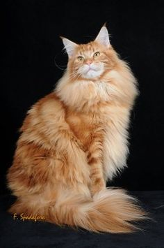 maine coon cat THIS LOOKS LIKE MY GIRL, Daisey :)