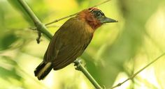 Rufous-breasted Piculet - Introduction | Neotropical Birds Online