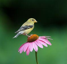 Goldfinch on Echinacea