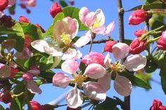 Semi-Dwarf Flowering Trees