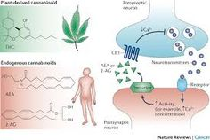 Pharmacological and Therapeutic Secrets of Plant and Brain (Endo)Cannabinoids.  To read more, go to: http://www.naturesalternativepdx.com/pharmacological-and-therapeutic-secrets-of-plant-and-brain-endo-cannabinoids/