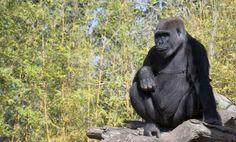 Mountain Gorilla from Congo DRC