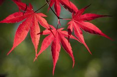 Red Japanese Maple Leaves by Chad Davis [SOURCE: Fine Art America] -- #JapaneseMaples #leaves #red #Autumn