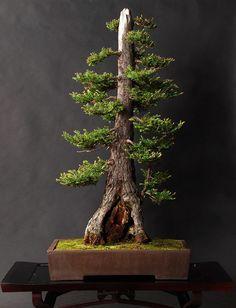 I bonsai sono alberi   straordinari. Sono belli, si inseriscono armoniosamente nella vostra casa, incoraggiano la pazienza e la dedizione, alleviano lo stress,