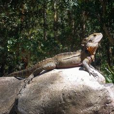 Such a poser  #currumbin #currumbinwildlifesanctuary #cws #holiday #queensland #qld #australia #sunny #beautiful #lizard #dragon #waterdragon #reptile by rjnic7 http://ift.tt/1X9mXhV
