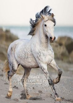 Tigre, Andalusian gelding. Ozana Photography                                                                                                                                                                                 More