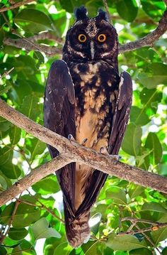 "The Stygian Owl (Asio stygius) is a medium-sized dusky colored owl. This owl is not globally threatened, although its status varies greatly throughout its range. It lives in South America, and parts of Central America./"" by Izaias Miranda Beautiful Owl, Animals Beautiful, Cute Animals, Beautiful Creatures, Bird Kite, Owl Bird, Owl Photos, Owl Pictures, Exotic Birds"