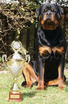 Laser von der Alten Festung Rottweiler Breeders, Rottweilers, Labs, Alter, Dog, My Love, Friends, Animals, Diy Dog
