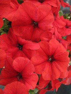 The compact, dome-shaped 'Trilogy Red' is smothered in upward-facing, vibrant, red flowers from spring to fall. See more top annauls here: http://www.bhg.com/gardening/gardening-trends/new-annuals-for-2015/?socsrc=bhgpin042515petuniatrilogyred&page=14