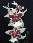 Орхидеи: уход, фото, продажа, выращивание.. Мои орхидеи. Baracuda   Галереи наших орхидей