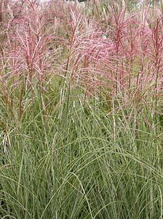 """Miscanthus sinensis 'Morning Light' - Morning Light Maiden Grass - H 2' to 4' Very narrow blade is mostly white, therefore takes longer than other Miscanthus to bulk up. Late bloomer but it lovely form and variegated look add interest to the landscape when not in bloom. Flowers early Sept through frost; 40-60"""" Tall Full sun; moist fertile soil; tolerates a wide range of soil types; moderately drought tolerant; holds up to wind and snow Zone: 5 - 9"""