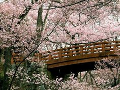 The Sakura in Japan. The cherry blossom is the national flower of japan, and a symbol of luck and happiness. I want to see Japan some time, although I hope it can be in the spring season so I can see this special occasion Cherry Blossom Japan, Cherry Blossom Season, Cherry Blossoms, Japanese Blossom, Images Wallpaper, Tree Wallpaper, Desktop Wallpapers, Beautiful World, Beautiful Places