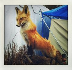 Majestic Fox. Im starting to love all things foxes. I should utilize the orange fox in my nursery decor somehow.